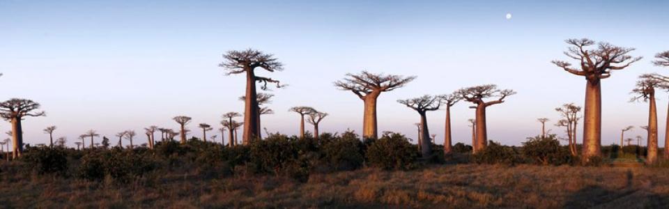 oma_baobab